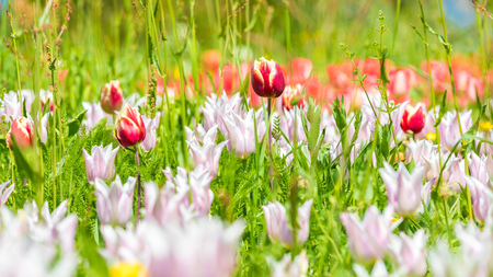 A flower meadow criss-crossed with different tulips