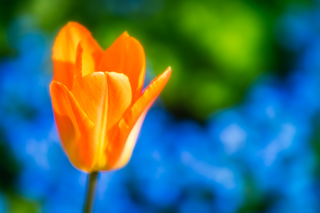 An orange tulip blossom in front of a blue flowerbed.