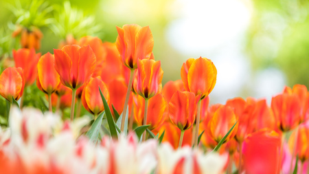 Blooming tulips in spring Stock Photo