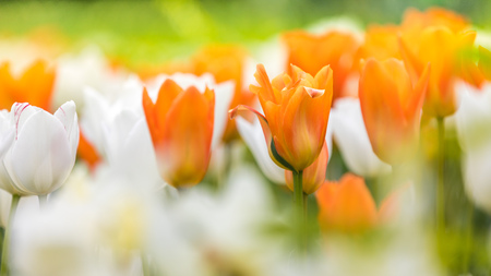 Blooming white and orange tulips in a large foliation group