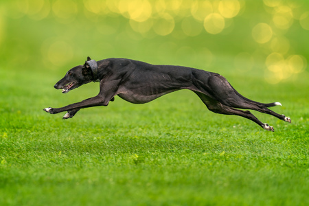 A greyhound completely lifted off the ground during the race.