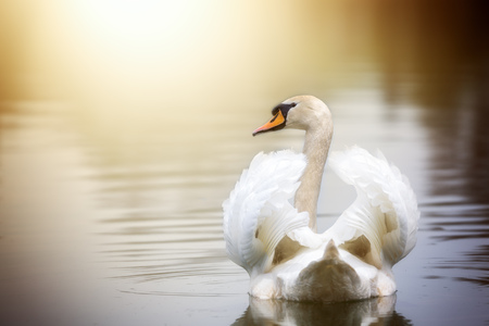 A swan is swimming on a lake with its wings slightly open.