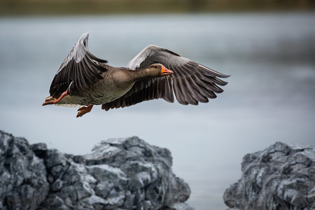 A wild goose just before landing in the water