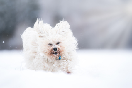 A little white dog rages through the snow with joy.