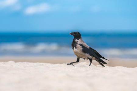 A fog crow walks on a sandy beach in front of blue sky. Stock Photo