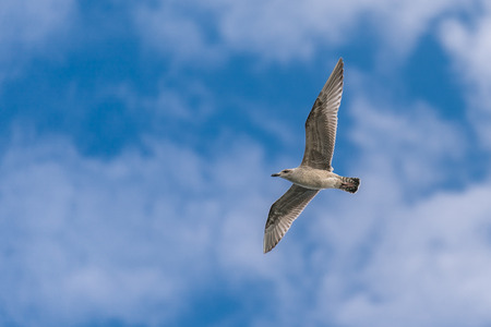 A seagull flies in front of a bright blue sky with a few light clouds. Reklamní fotografie