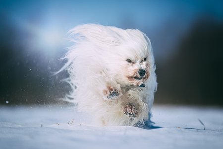 Little white Havanese runs full of joy through the winter snow. In the background the sun is shining.