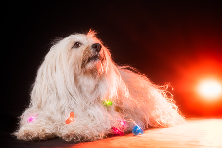 A small white Havanese is wrapped in a fairy lights on the studio floor and looks up slightly. From behind, a flashing orange light.