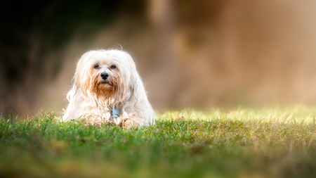 Little white Havanese lies in the meadow and looks into the camera.