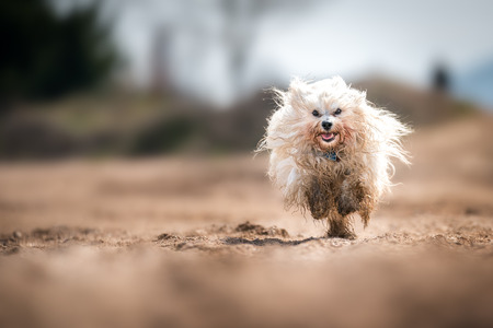 Little white Havanese runs through a gravel and gets dirty Stock Photo