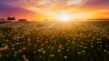Colorful sunrise over a flower meadow with a light ground fog. Reklamní fotografie