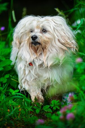 Little white havanese in a meadow after a short dip in the water
