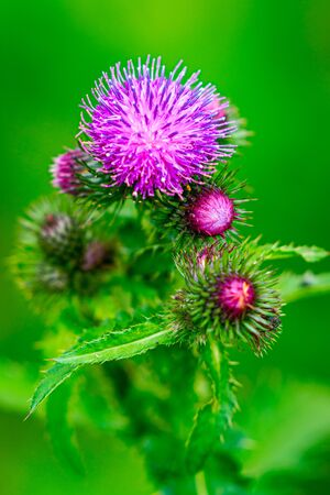 The Krause thistle with little sharpness Stock Photo