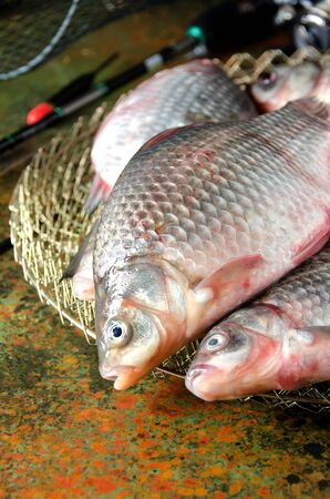 carassius gibelio: several crucian carp fishing rod cage float on a bog color  background Stock Photo
