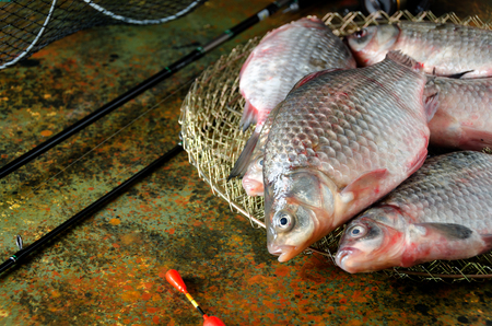 carassius gibelio: six crucian carp fishing rod cage float on a bog color  background