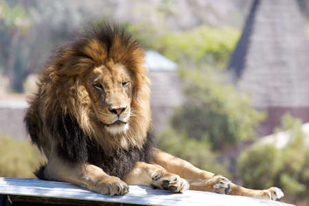 africat: Lion resting on the hood of a land rover Stock Photo