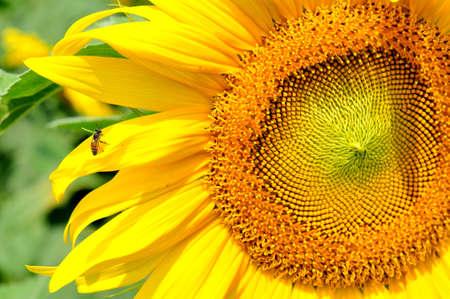 helianthus annuus: Pollen