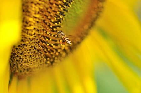 honey bee on pollen photo
