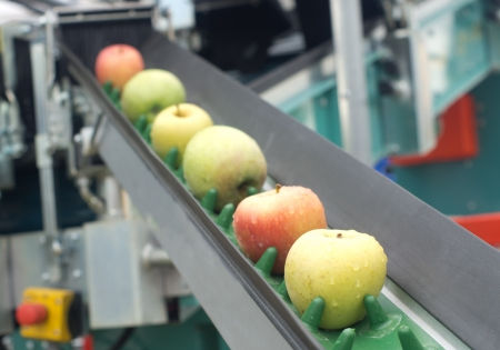 work belt: Picked apples on a conveyor belt