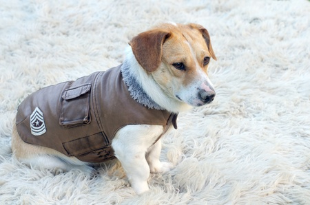 overcoat: Lovely dog in jacket is waiting for a walk Stock Photo