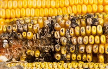 penicillium: Corn rot - disease on ear