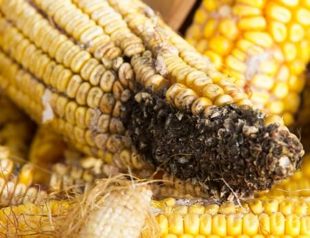 free radicals: Corn rot - disease on ear
