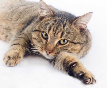 cuddly: Cuddly cat lying on white and looking at camera Stock Photo