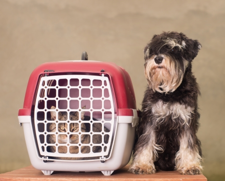 cat carrier: Tabby cat in pet carrier and Miniature Schnauzer sitting beside
