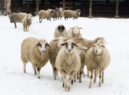 Herd of sheep standing on snow on farmland photo
