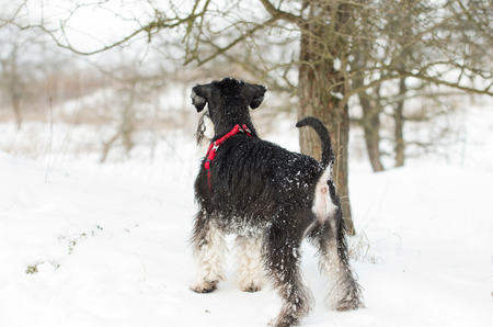 doggy position: Miniature schnauzer standing on snow and looking ahead