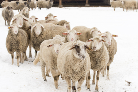 wooly: Herd of sheep standing on snow on farmland Stock Photo