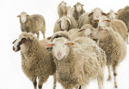 out of production: Herd of sheep isolated on white background