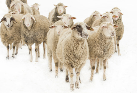 oveja: Reba�o de ovejas aisladas sobre fondo blanco Foto de archivo