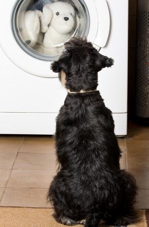 Miniature schnauzer looking at toys in washing machine