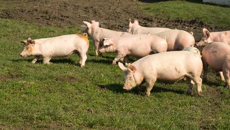 작은 귀여운 돼지 풀과 진흙 투성이의 필드를 걷는