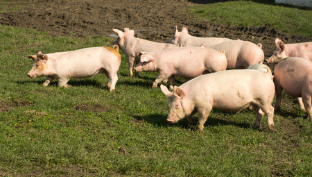 pigpen: Small cute pigs walking on grass and muddy field