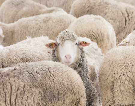 strategical: Concept of one sheep from herd looking at camera