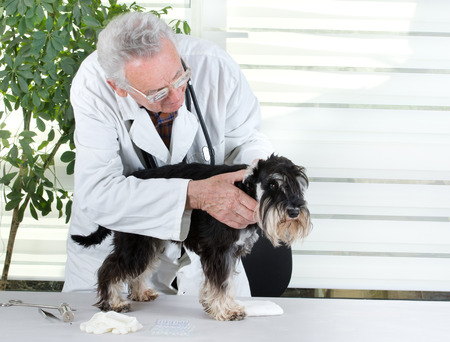 Senior experienced veterinarian examining miniature schnauzers ear photo