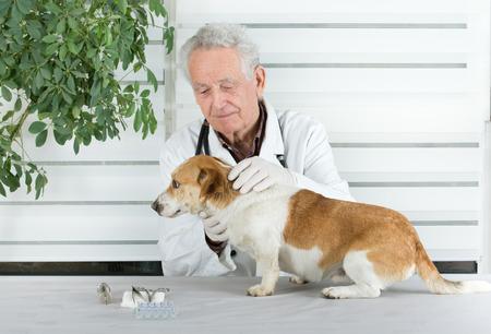 infirmary: Small dog has examination on table in senior veterinarian infirmary