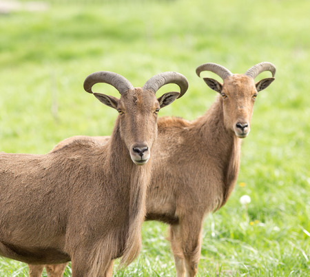 Two barbary sheep standing on grass and looking at camera photo