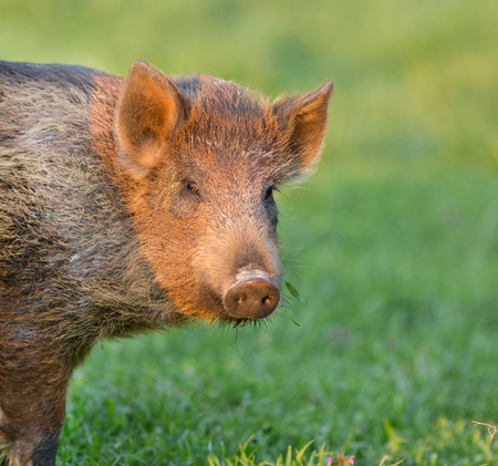 Close up of baby wild boar looking at camera photo