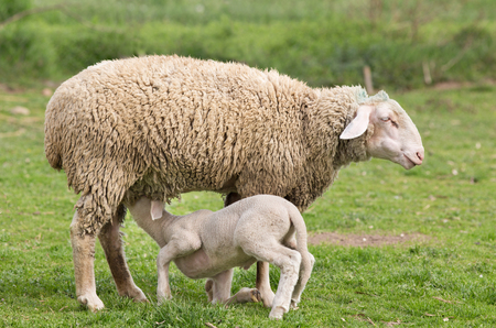 nurseling: Lamb suckling milk from its mother (Wuerttemberg sheep)