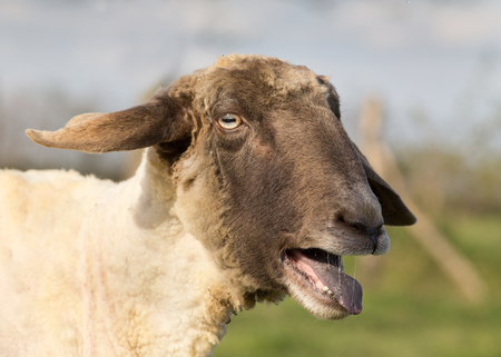 Sheep showing its tongue and teeth as it bleats photo