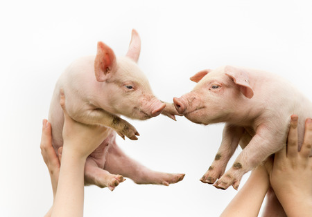 flying pig: Two white cute piglets up in the air Stock Photo