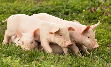 Sleepy cute piglets on pile on grass