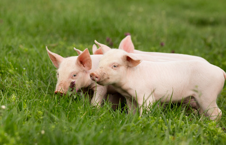 Cute piglets standing and nudging on grass photo