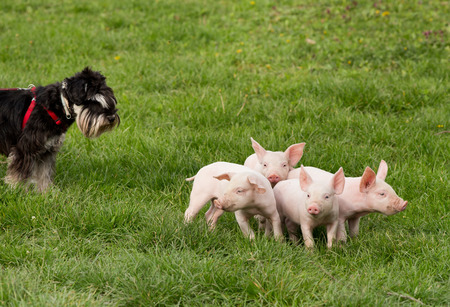 flying pig: Miniature schnauzer taking care of group of cute piglets Stock Photo