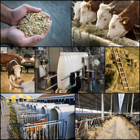 Collage of dairy industry process from feeding till packaging photo
