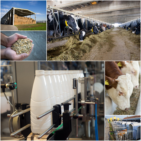 dairy products: Collage of dairy industry process from feeding till packaging