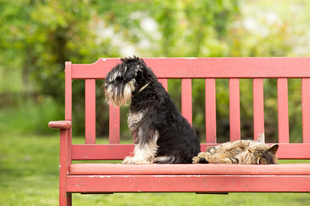 Miniature schnauzer turned back to its cat friend